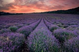 Lavender At Sunset by prozac1, www.freedigitalphotos.net